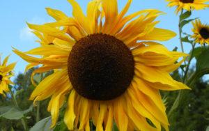 Helianthus, Sunflower, copyright Nancy Noll Kolinski